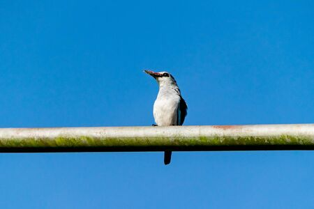 Woodland kingfisher (Halcyon senegalensis) perched on a metal post with the remains of a tiger moth prey on beak, Entebbe, Uganda Stockfoto