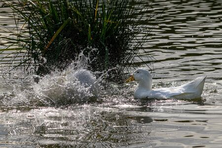 Pekin ducks splashing and washing feathers on a sunny day