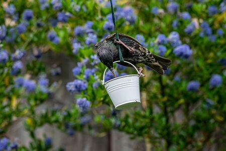 Wild starling (Sturnus vulgaris) perched on a garden suet feeder