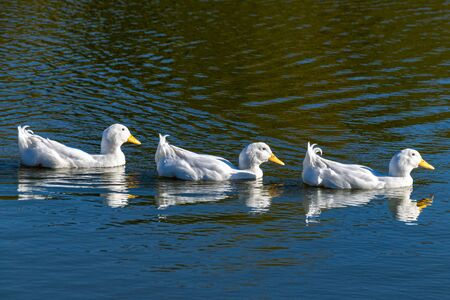 Swimming white pekin ducks in a row