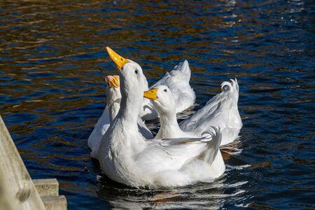 White pekin ducks reaching up out of the water