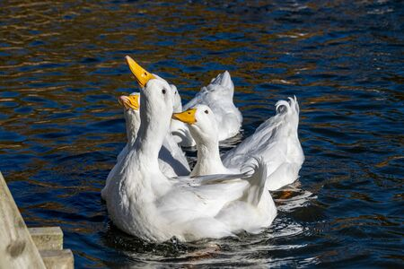 White pekin ducks reaching up out of the water