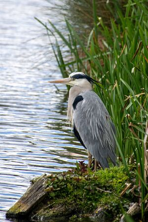 Grey heron (ardea cinerea) standing on a riverbank on a grey cloudy day in spring