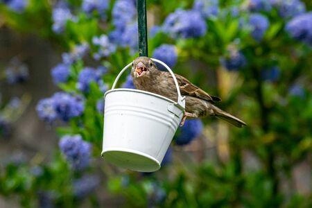 Female house sparrow bird (Passer domesticus) perched on suet garden feeder 版權商用圖片