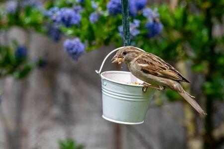 Female house sparrow bird (Passer domesticus) perched on suet garden feeder Stockfoto