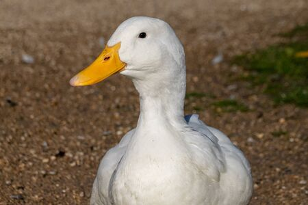 Portrait of a white pekin duck