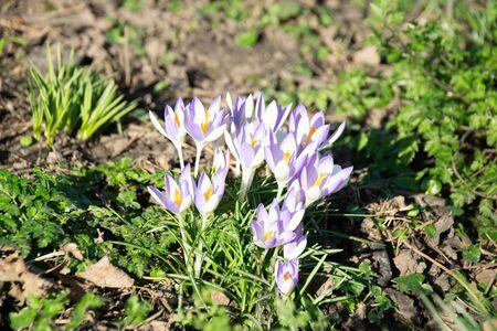 Winter crocus flowers in bloom February 2020