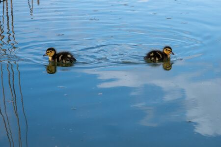 Family of young mallard ducklings in early spring Banco de Imagens