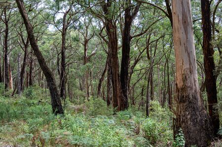 Regrowth of trees following the forest fires of 2019 and 2020, Great Otway National Park, Australia