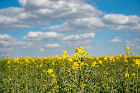 Vibrant bright colored fields of yellow rapeseed flowers