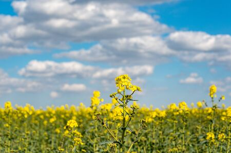 Vibrant bright colored fields of yellow rapeseed flowers Standard-Bild