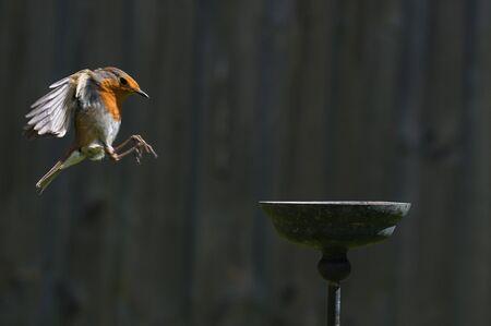 Wild robin, erithacus rubecula, perched on suet garden bird feeder