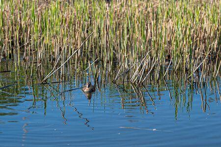 Two week old mallard ducklings swimming amongst reeds in spring sunshine Banco de Imagens