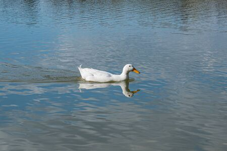 White pekin duck swimming on a bright sunny spring day