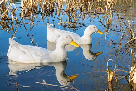 White pekin ducks swimming on a still calm lake with water reflection