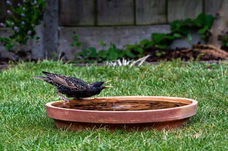 Starling dribbling water from a bird bath