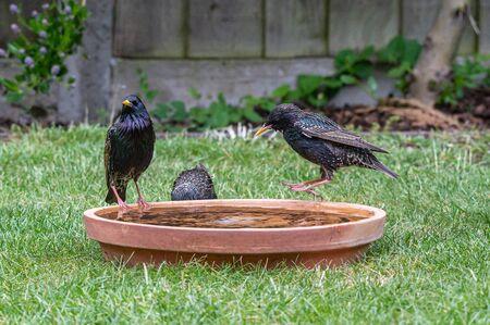 European starlings, sturnus vulgaris, bathing and splashing in a bird bath