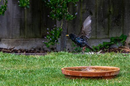 European starling, sturnus vulgaris, in flight wet from bird bath Banque d'images