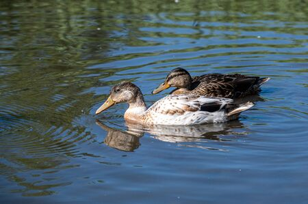 Mallard ducklings with female colouring and white feathers
