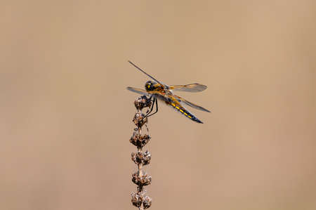 Four spotted chaser dragonfly, Libellula quadrimaculata, female Stockfoto