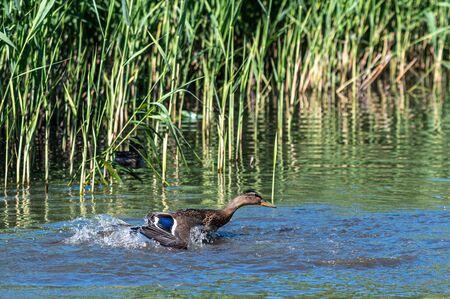 Young mallard ducks splashing water