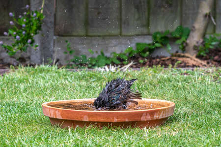 European starling, sturnus vulgaris, Stockfoto