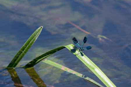 Male banded demoiselle damselfly, Calopteryx splendens in flight over a stream