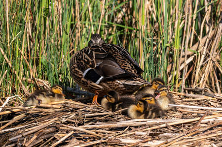 Mallard ducklings sleeping on a nest of reeds with mother duck keeping a watchful eye in early spring