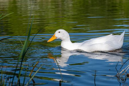Male pekin duck, also known as Aylesbury or Long Island Duck, swimming on a calm, still lake