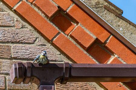 Bluetit bird perched on home guttering in sunlight