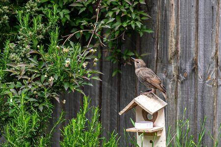 Juvenile starling, sturnus vulgaris, standing on broken wooden birdhouse
