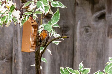 European robin, erithacus rubecula, with wet feathers perched on a garden feeder during a rain storm