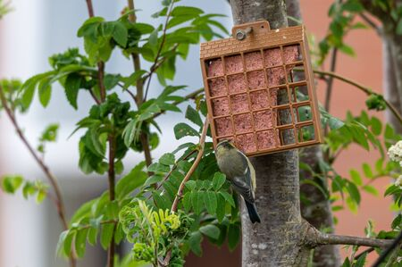 Juvenile bluetit on garden suet bird feeder 版權商用圖片