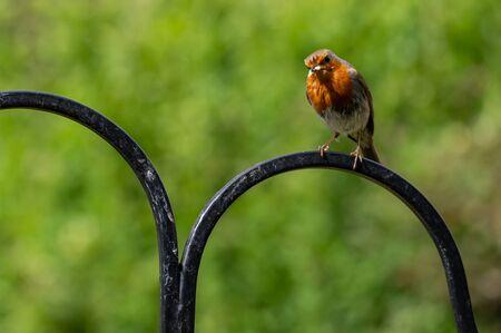 Robin, Erithacus rubecula, with white grub in beak perched on a metal bird feeder frame Stock Photo