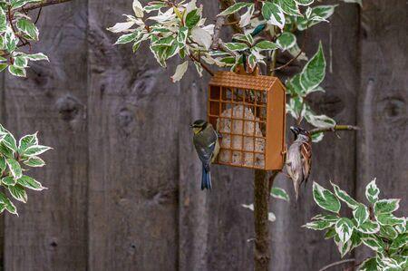 Urban wildlife as a bluetit and sparrow perch on opposite sides of bird feeder