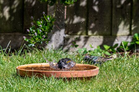 European starling, sturnus vulgaris, splashing and preening in a bird bath