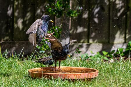 European starling, sturnus vulgaris, flying into a bird bath Stok Fotoğraf