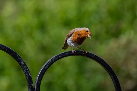 Robin, Erithacus rubecula, perched on a metal bird feeder frame Stock Photo