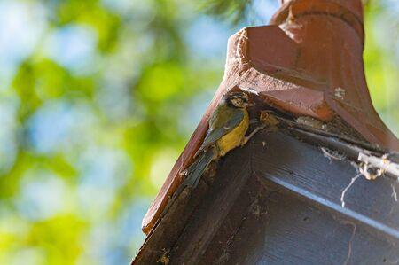 Bluetit, cyanistes caeruleus, feeding brood of chicks nested in a church roof 版權商用圖片