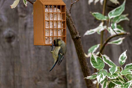Juvenile blue tit on suet bird feeder Stockfoto