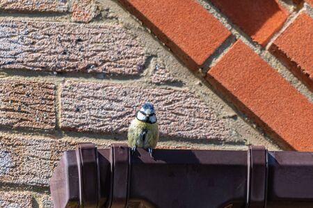 Bluetit bird perched on houseguttering Stockfoto