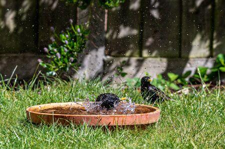 European starling, sturnus vulgaris, splashing and preening in a bird bath
