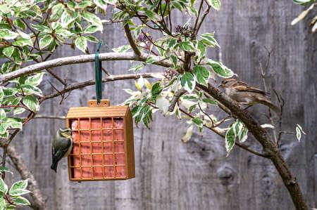 House sparrow and juvenile bluetit on bird feeder hanging from garden shrub