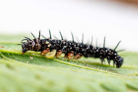 Parasitoid wasp larvae emerging from a live peacock butterfly caterpillar Stockfoto