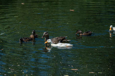 Family of mallard ducks with 2 white ducklings