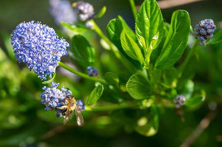 Bees collecting pollen from a garden Californian Lilac bush, ceanothus thyrsiflorus