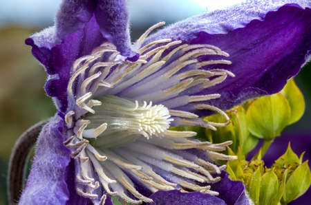 Purple flower with 4 star shaped petals and yellow stamen Stockfoto