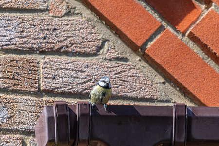 Bluetit bird perched on housing guttering