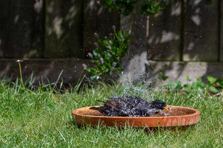 Two starlings having a splash in a bird bath