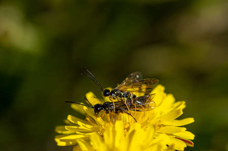 Black soldier fly, ermetia illucens, mating on a vibrant yellow dandelion flower